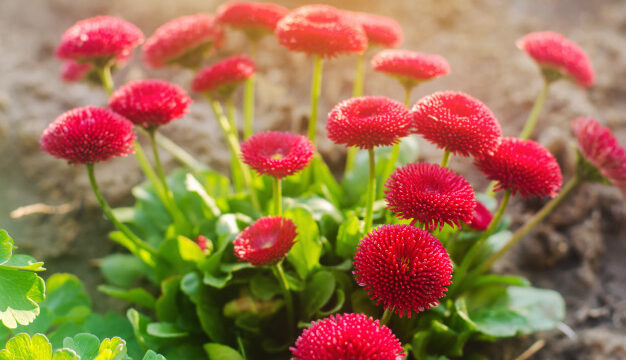 https://www.salmasogarden.it/wp-content/uploads/2021/01/beautiful-red-vibrant-flowers-bellis-spring-sunny-garden-daisy-family-bellis-perennis_72572-1428-626x360.jpg