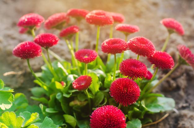 https://www.salmasogarden.it/wp-content/uploads/2021/01/beautiful-red-vibrant-flowers-bellis-spring-sunny-garden-daisy-family-bellis-perennis_72572-1428.jpg