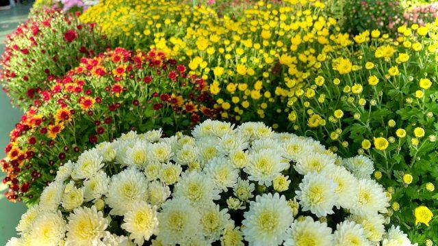 https://www.salmasogarden.it/wp-content/uploads/2021/10/Copertina-Crisantemi-640x360.jpeg